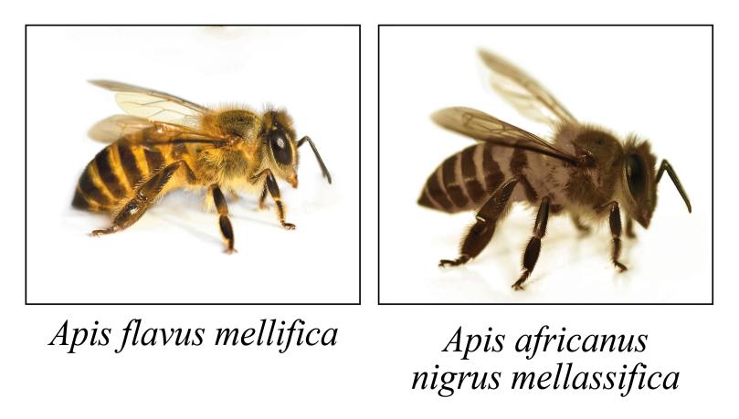 abeilles_Coul