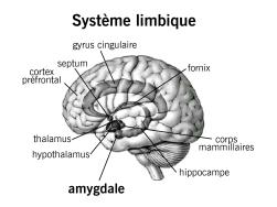 systeme_limbique